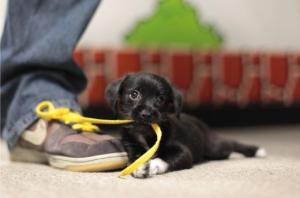 puppy-eating-shoelace