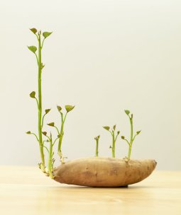 Flickr-potato-sprout