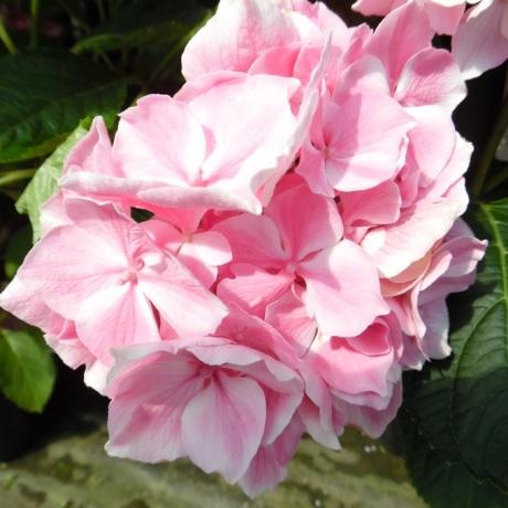 hydrangea-macrophylla-la-vie-en-rose-h--[2]-202-p